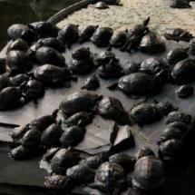 El estanque de Atocha, abarrotado de tortugas.