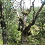 Árboles monumentales en el Hayedo de Montejo, 2014