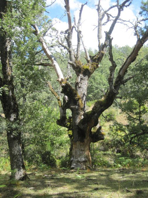 Algunos árboles de este hayedo muestran un aspecto 'encantado'...