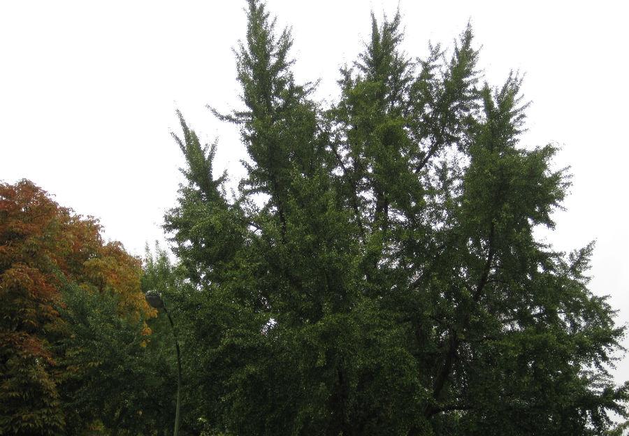 Árboles en el jardín de la Plaza de la Lealtad
