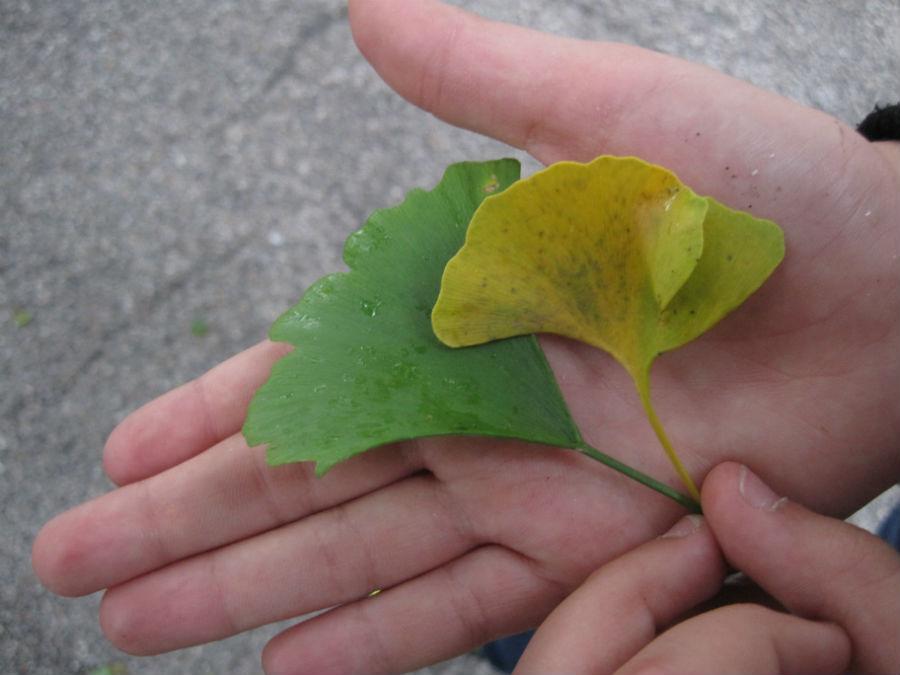 En otoño, las hojas del ginkgo se tornan amarillas.