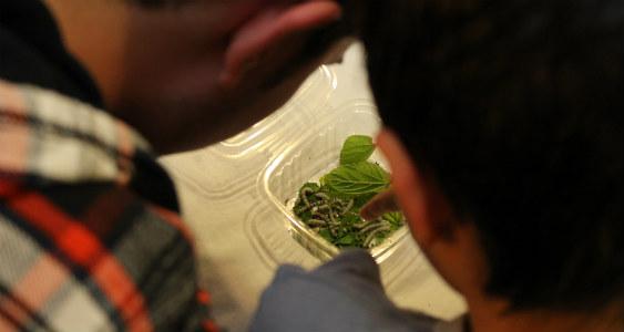 Aprender a criar gusanos de seda y entender la metamorfosis aún resulta atractivo para los niños