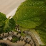 Gusanos de seda: conseguirlos y criarlos