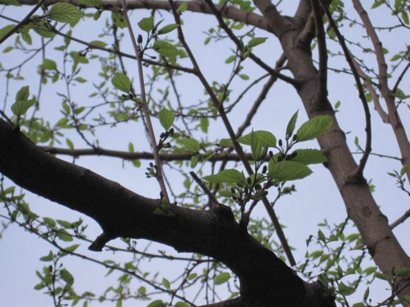 La morera se identifica fácilmente si tiene hojas