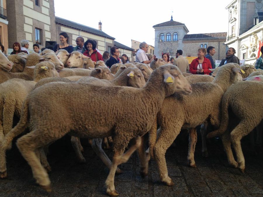 Un gran rebaño de ovejas recorre Madrid, desde la Plaza de la Villa hasta la Puerta de Alcalá