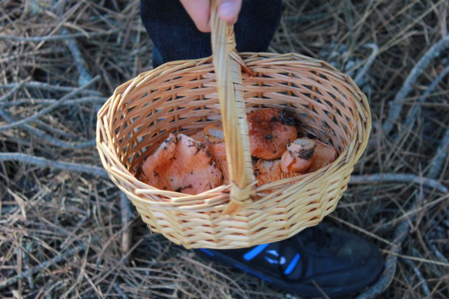 La cesta de mimbre es fundamental en una jornada de recolección de níscalos en Cantalejo, Segovia