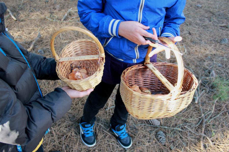 Recolección de níscalos en Cantalejo, Segovia
