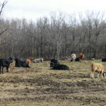 El ganado vacuno puebla los campos de la Sierra de Madrid