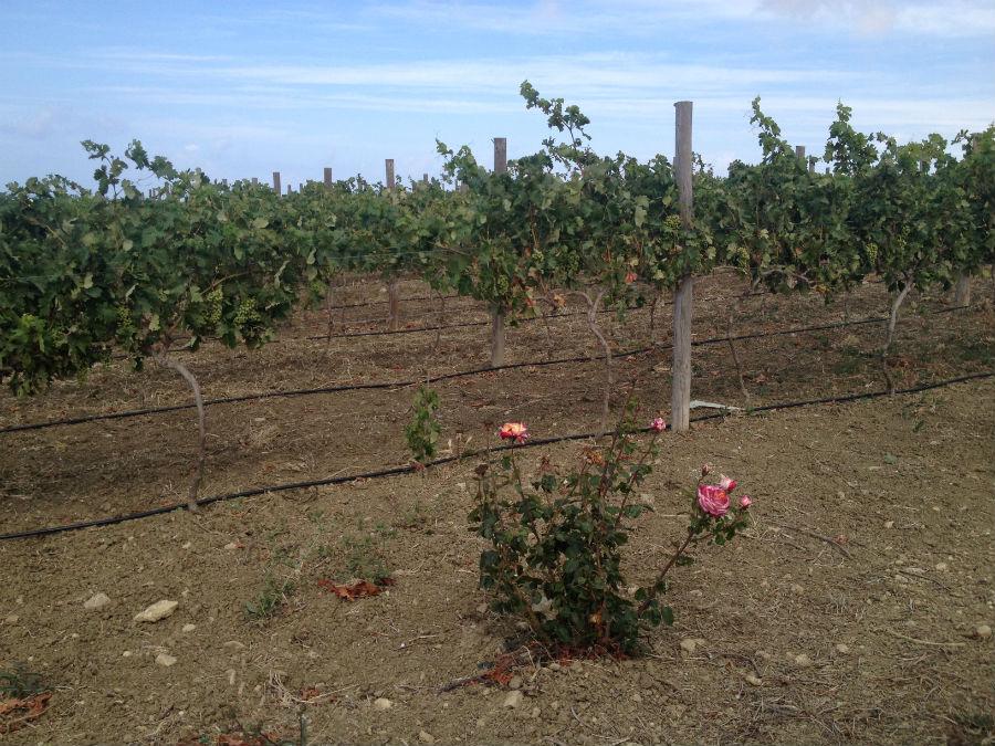 Los rosales actúan como 'avisadores' de plagas en los cultivos
