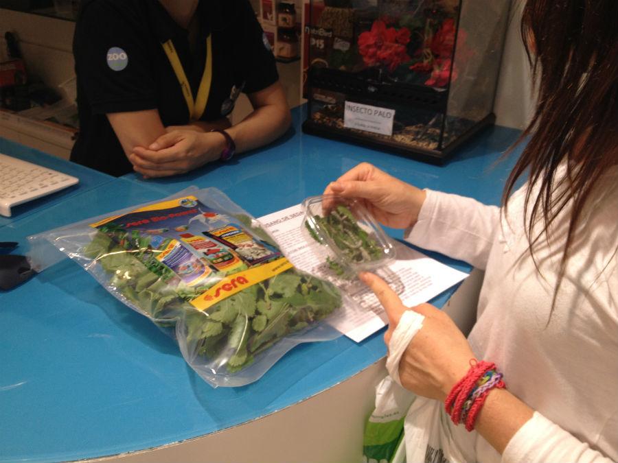 Tanto si compras hojas de morera, como si la recolectas, hay que conservarla fresca