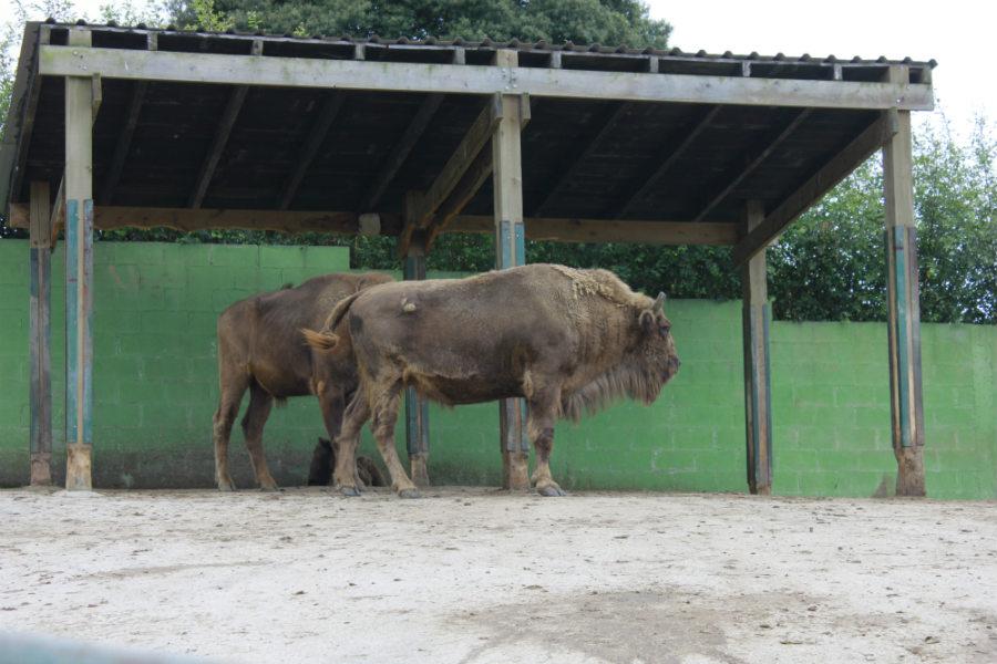 Bisontes en el Zoo de Santillana del Mar