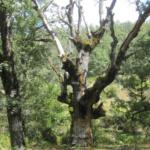 Árboles monumentales en el Hayedo de Montejo
