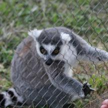 Instalación de los lemures en el Zoo de Madrid