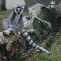 Lemur del Zoo de Madrid
