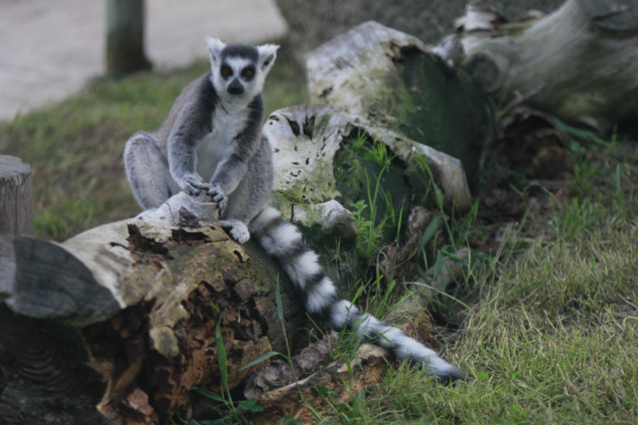 Lemur del Zoo de Madrid