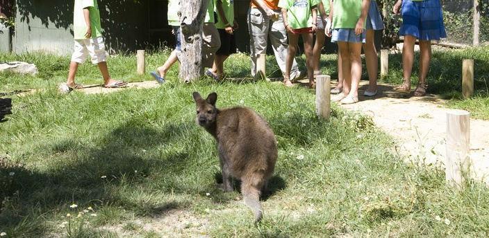 Wallabee en el Zoo de Madrid