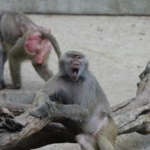 Babuinos del Zoo de Madrid
