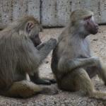 Babuinos aseándose en el Zoo de Madrid