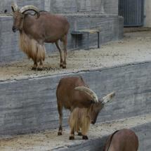 Cabras salvajes en el Zoo de Madrid
