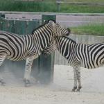 Cebras en el Zoo de Madrid