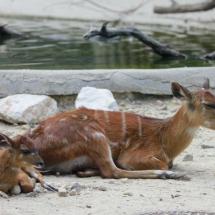 Instalación de los cérvidos en el Zoo de Madrid