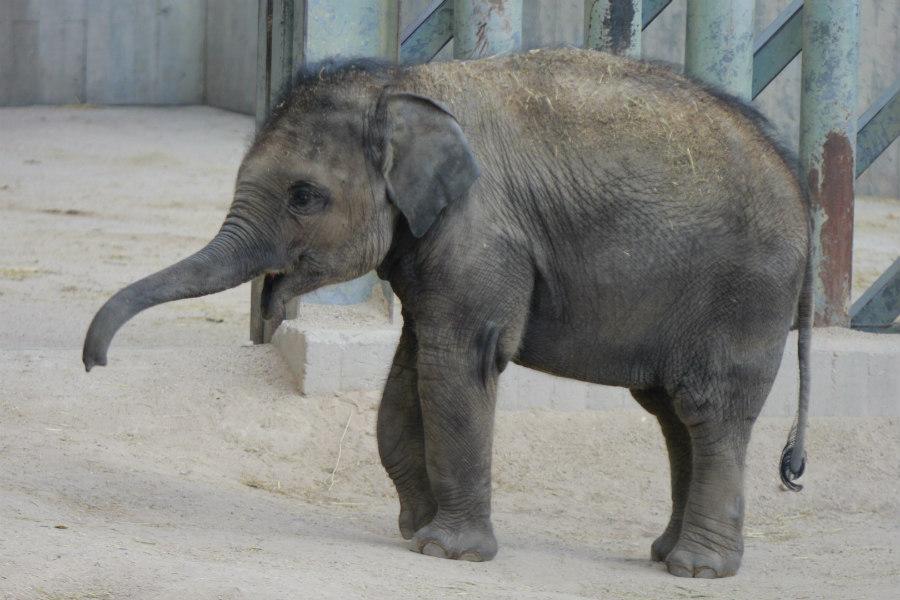 Cría de elefante asiático del Zoo de Madrid