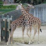 Jirafas del Zoo de Madrid