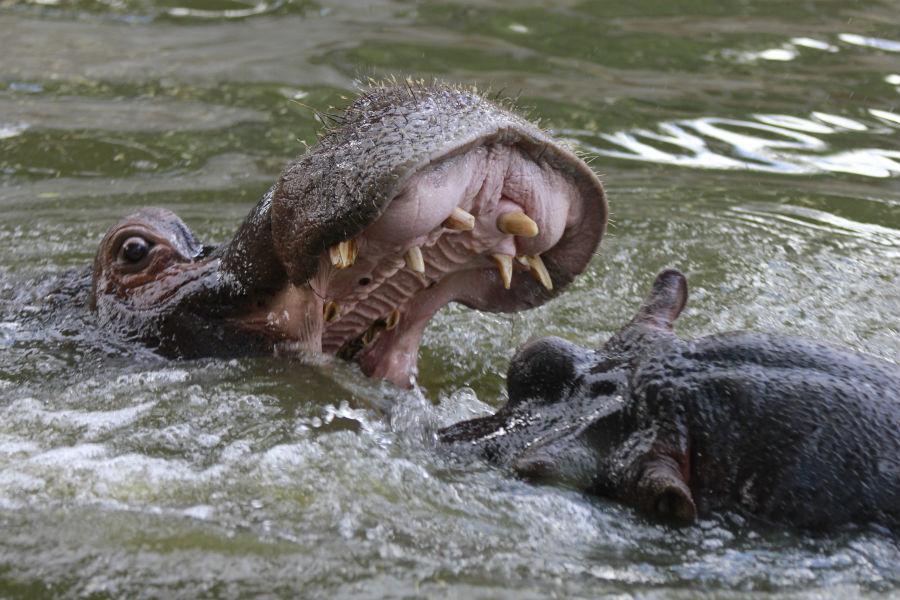 Hipopótamos luchando en el Zoo de Madrid