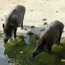 Jabalíes en el Zoo de Madrid