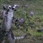Lemures del Zoo de Madrid