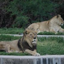 Recinto de los leones del Zoo de Madrid