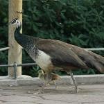 Pavo con pollito en el Zoo de Madrid
