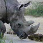 Rinoceronte blanco en el Zoo de Madrid