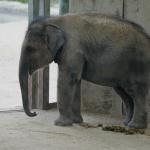 La cría de elefante asiático, nacida en cautividad en el Zoo de Madrid, impresionará a los más pequeños.