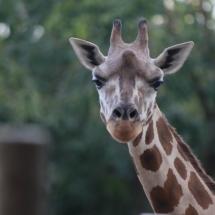 Las jirafas, por su largo cuello, atraen la curiosidad de los niños.