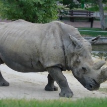 En el Zoo de Madrid vive uno de los tres únicos ejemplares de rinocerontes blancos nacidos en cautividad.