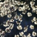 La floración de los almendros es una delicia para los aficionados a la fotografía.