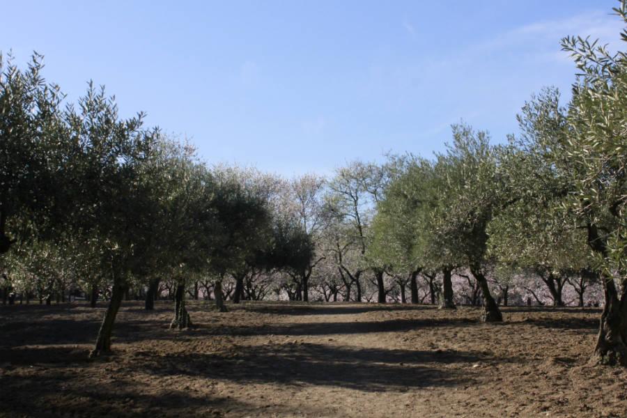 En el parque Quinta de los Molinos también se pueden fotografías olivos.