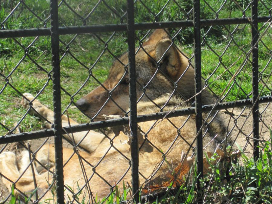 En el 'zoo' de Peralejo sólo hay fauna ibérica