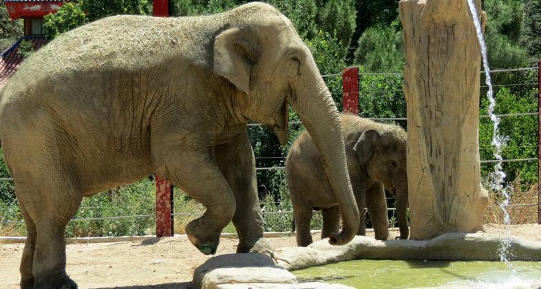 Buba, el elefante asiático nacido en Madrid, se traslada
