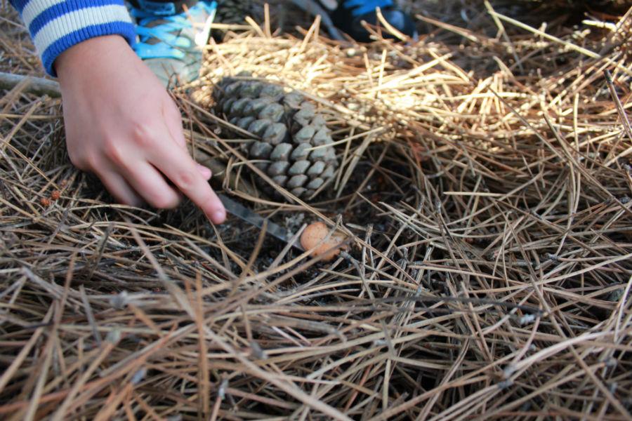 Níscalos en un pinar de Cantalejo