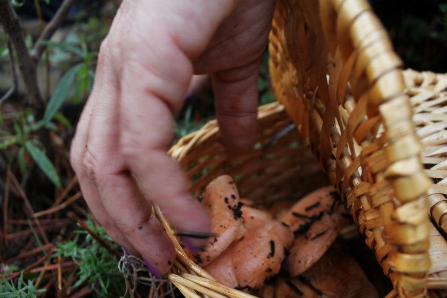 Durante la recolección, hay que ir guardando los níscalos en una cesta de mimbre, nunca en bolsas de plástico.