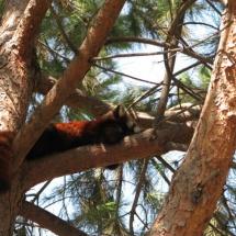 Zorro arbóreo de Faunia.