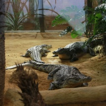 Instalación de cocodrilos en Faunia.