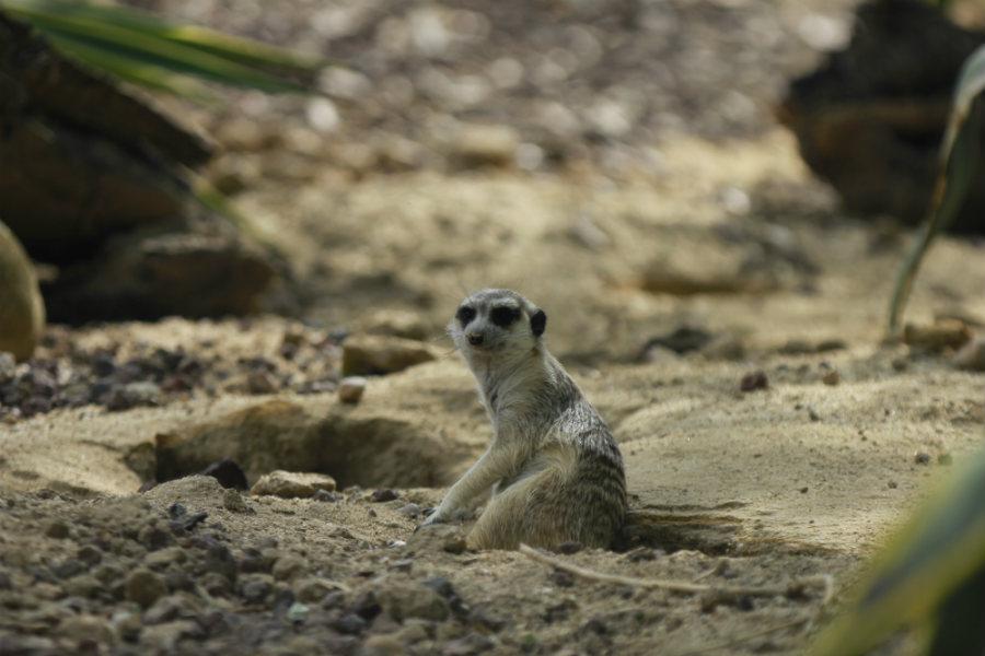 Instalación de suricatas en Faunia.