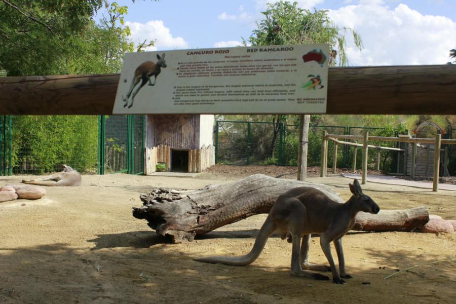 Instalación de canguros en Faunia.