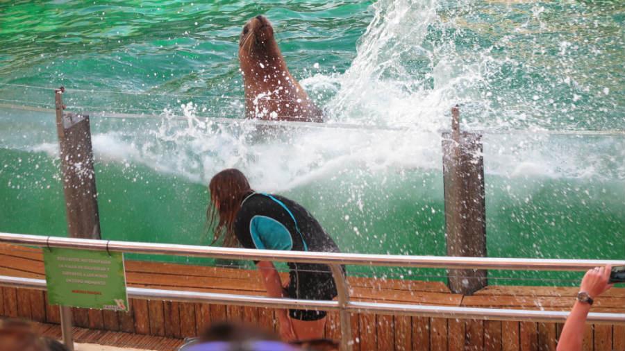 Ver el espectáculo de los leones marinos desde la primera fila es muy emocionante.