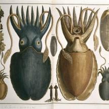 Calamar gigante, de Albertus Seba