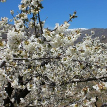 Cerezo en flor en el Valle del Jerte