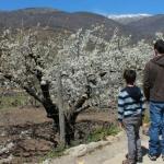 Ver cerezos en el Valle del Jerte